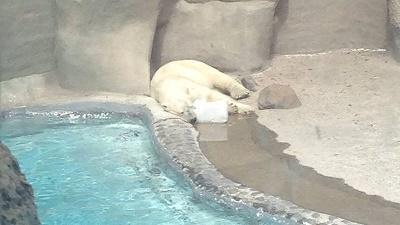 Oso polar zoológico Guadalajara
